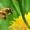 Пчелопакеты карпатской пчелы и пчелиные матки.Есть в наличии! Доставка