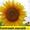 Соняшникове насіння гібриду  – «Сонячний настрій» #1513765
