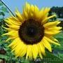 насіння соняшника F1 від оригінатора