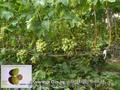 Чубуки винограду- близько 170 сортів і г. ф.