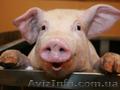Продам домашню свиню