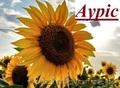 Ауріс посівний матеріал від фірми Гран