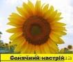 Соняшникове насіння гібриду  – «Сонячний настрій»